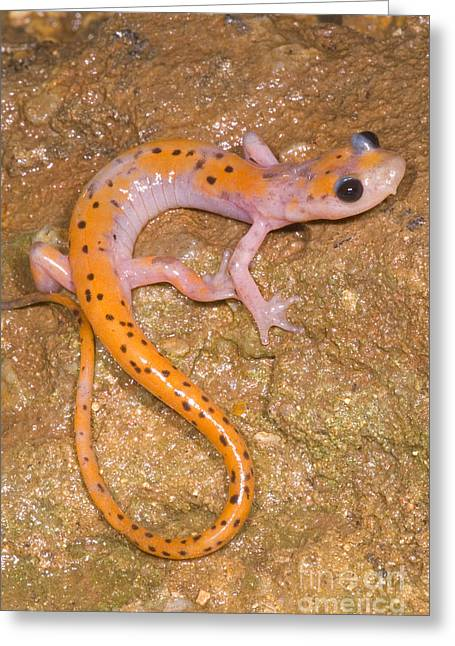 Subterranean Fauna Greeting Cards - Cave Salamander Greeting Card by Dante Fenolio