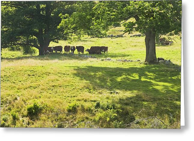 Grazing Animals Greeting Cards - Cows Grazing On Grass In Farm Field Summer Maine Greeting Card by Keith Webber Jr