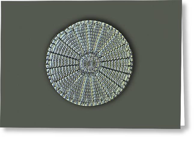 Alga Greeting Cards - Diatom, Light Micrograph Greeting Card by Frank Fox