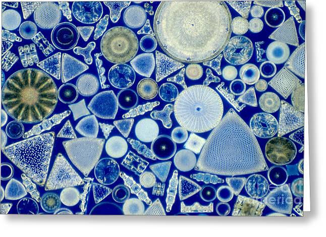 Frustule Greeting Cards - Diatoms Greeting Card by M. I. Walker