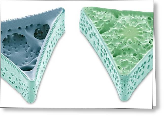 Phytoplankton Greeting Cards - Diatoms, Sem Greeting Card by Steve Gschmeissner