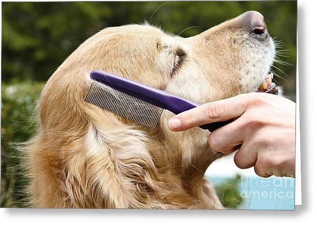 Furry Coat Greeting Cards - Dog Grooming Greeting Card by Photo Researchers Inc