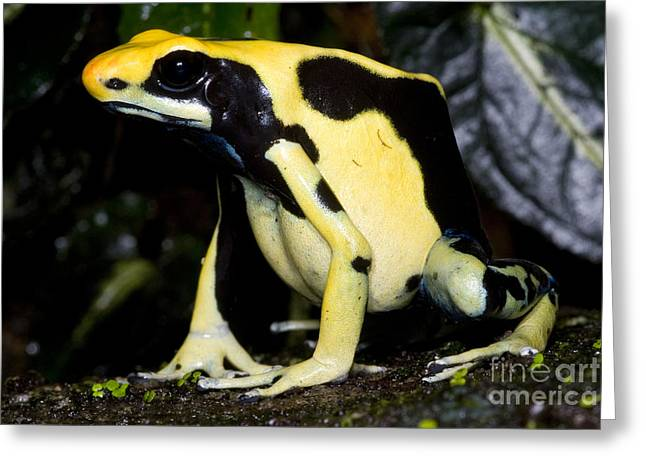Dyeing Greeting Cards - Dyeing Poison Frog Greeting Card by Dante Fenolio
