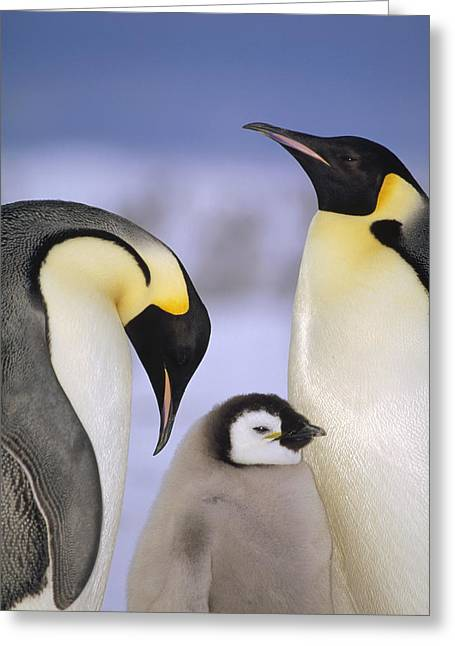 Aptenodytes Sp Greeting Cards - Emperor Penguin Aptenodytes Forsteri Greeting Card by Tui De Roy