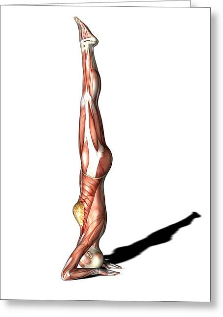 Striated Muscle Greeting Cards - Female Muscles, Artwork Greeting Card by Friedrich Saurer