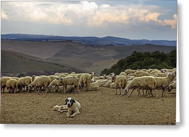 Cattle Dog Greeting Cards - Flock Of Sheep Greeting Card by Joana Kruse