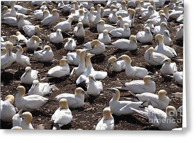 Northern Gannet Greeting Cards - Gannet Colony Greeting Card by Ted Kinsman