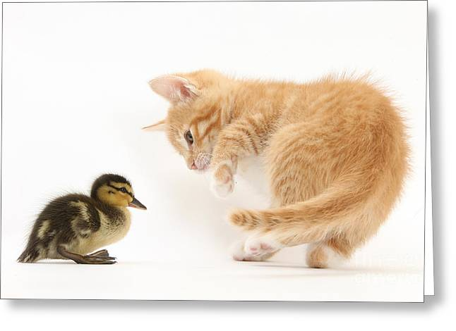 Mallard Ducklings Greeting Cards - Ginger Kitten And Mallard Duckling Greeting Card by Mark Taylor
