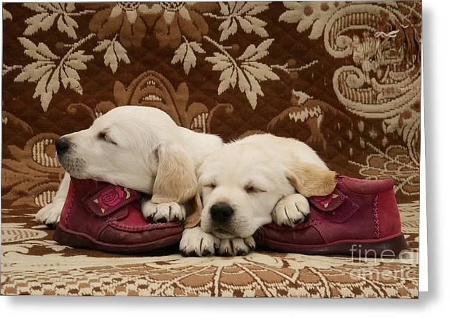 Mixed Labrador Retriever Greeting Cards - Goldidor Retriever Puppies Greeting Card by Jane Burton