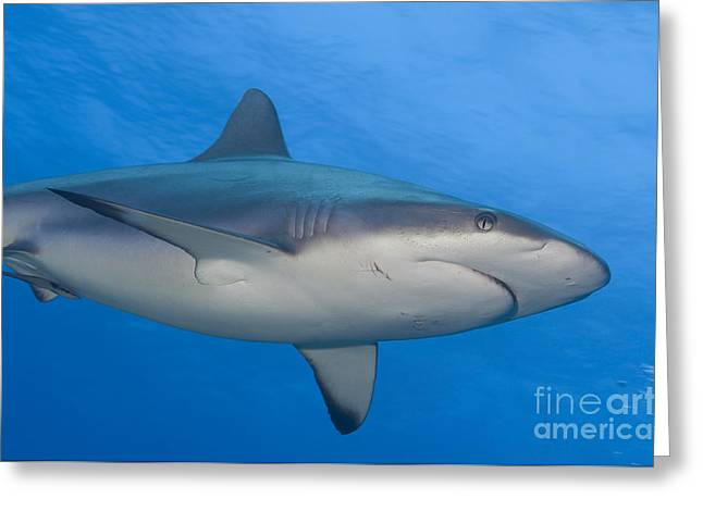 Reef Fish Greeting Cards - Gray Reef Shark. Papua New Guinea Greeting Card by Steve Jones