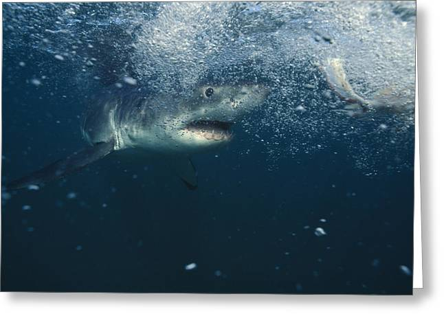 White Shark Greeting Cards - Great White Shark Greeting Card by Alexis Rosenfeld