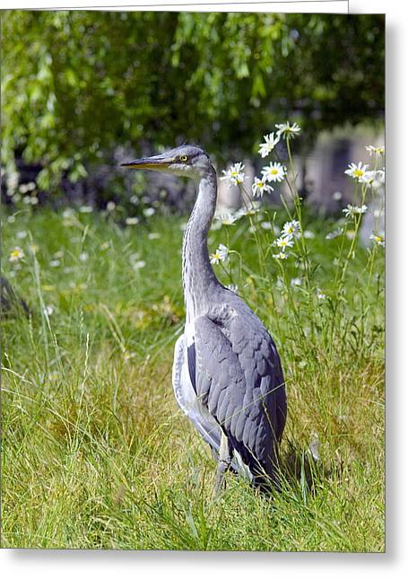 Ardea Greeting Cards - Grey Heron Greeting Card by Georgette Douwma