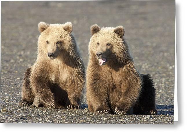 Grizzly Bear Ursus Arctos Horribilis Greeting Card by Matthias Breiter