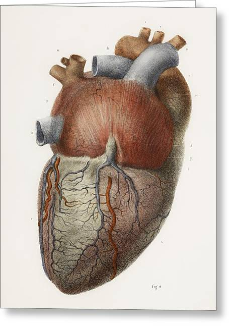 Vol Greeting Cards - Heart Anatomy, 19th Century Illustration Greeting Card by