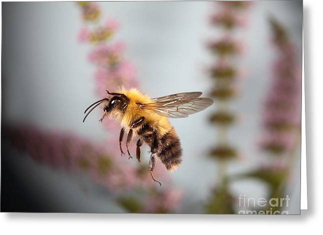 Bee In Flight Greeting Cards - Honey Bee In Flight Greeting Card by Ted Kinsman