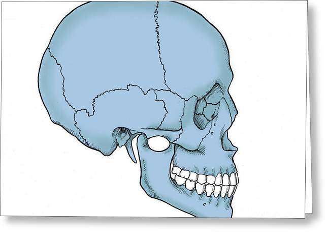 Maxilla Greeting Cards - Illustration Of Human Skull Greeting Card by Science Source