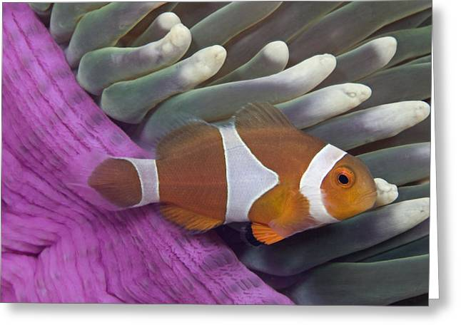 Pomacentridae Greeting Cards - Malaysia, Marine Life Greeting Card by Dave Fleetham - Printscapes