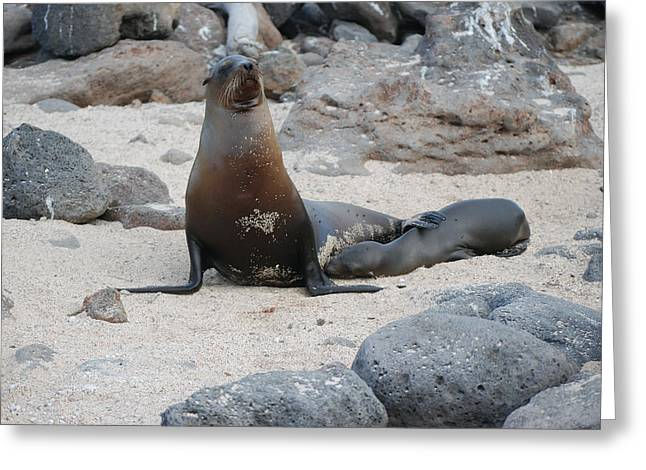 Sea Lions Greeting Cards - Sea Lion with Pup Greeting Card by Harvey Barrison