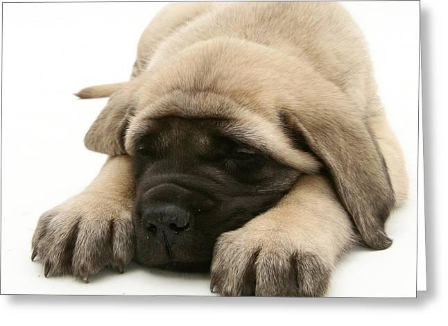 Mastiff Pup Greeting Cards - Sleeping Puppy Greeting Card by Jane Burton