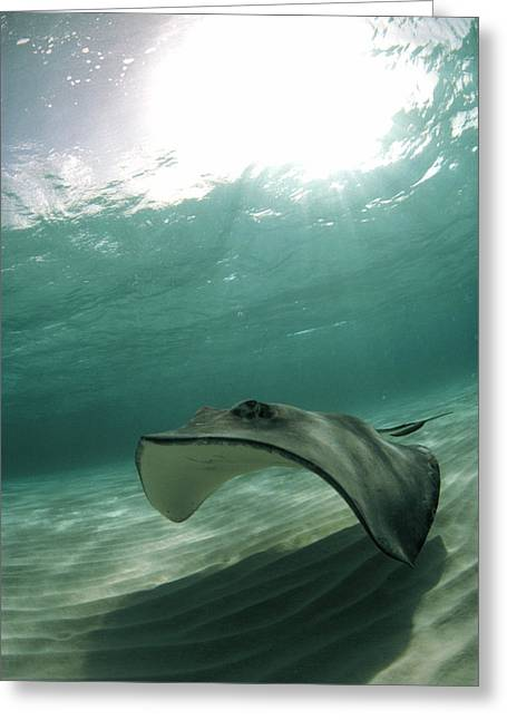 Southern Stingrays Greeting Cards - Southern Stingray Greeting Card by Georgette Douwma