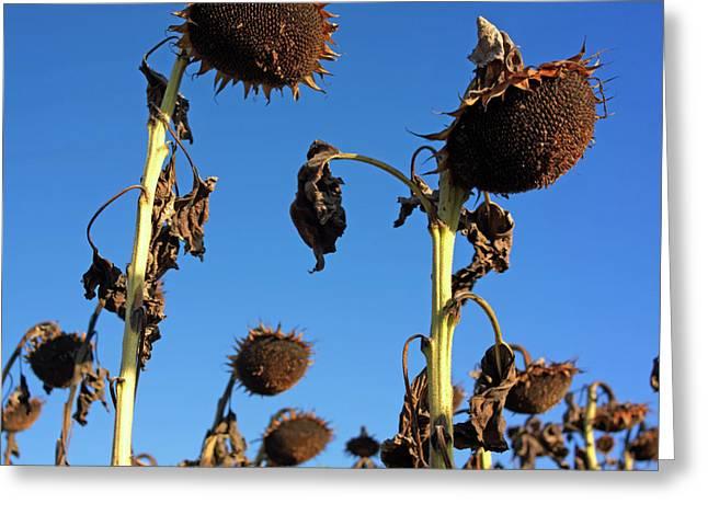 Cultivation Greeting Cards - Sunflowers  Greeting Card by Bernard Jaubert