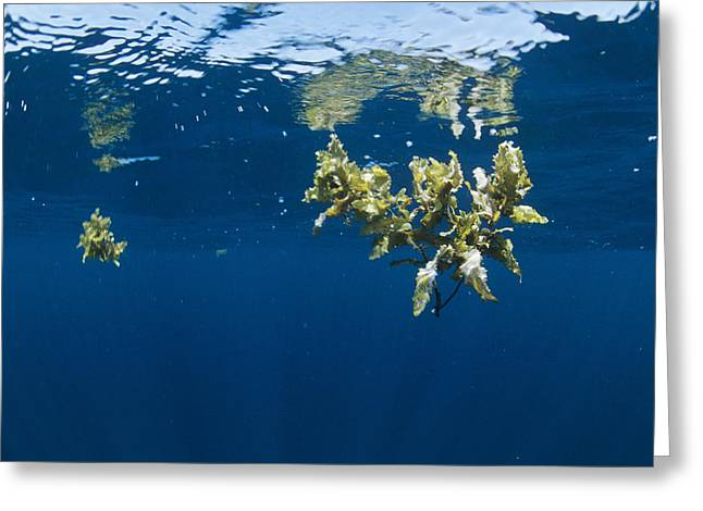 Tropical Seaweed Greeting Card by Alexis Rosenfeld