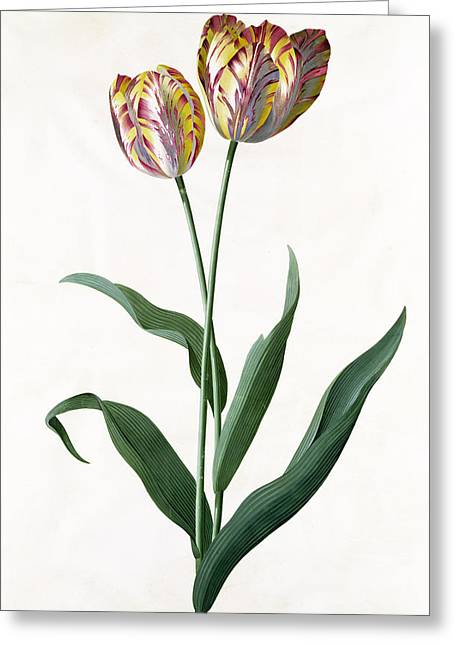 Pre-19th Greeting Cards - 5 Tulip Tulip  Greeting Card by Georg Dionysius Ehret
