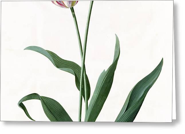 5 Tulip Tulip  Greeting Card by Georg Dionysius Ehret
