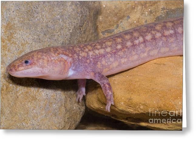 Troglobitic Greeting Cards - West Virginia Spring Salamander Greeting Card by Dante Fenolio