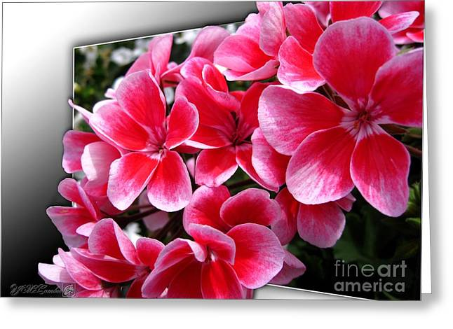 Fall Photos Mixed Media Greeting Cards - Zonal Geranium named Candy Fantasy Kiss Greeting Card by J McCombie