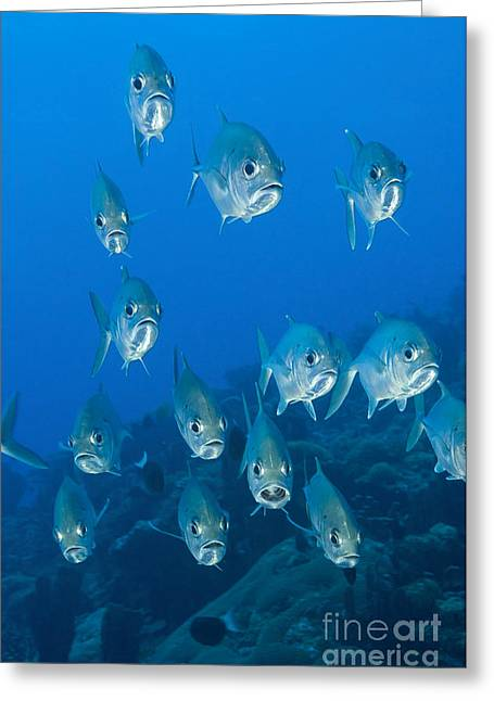 New Britain Photographs Greeting Cards - A School Of Bigeye Trevally, Papua New Greeting Card by Steve Jones