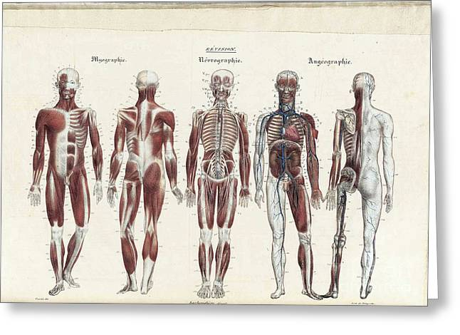 Lithography Greeting Cards - Anatomie Methodique Illustrations Greeting Card by Science Source