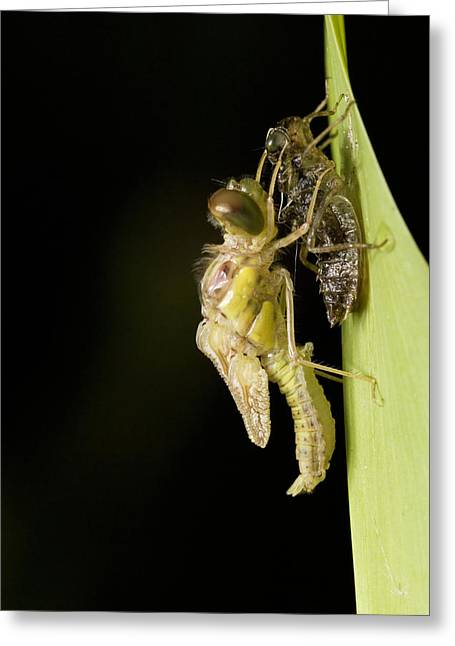 Maturity Greeting Cards - Common Darter Dragonfly Metamorphosis Greeting Card by Adrian Bicker