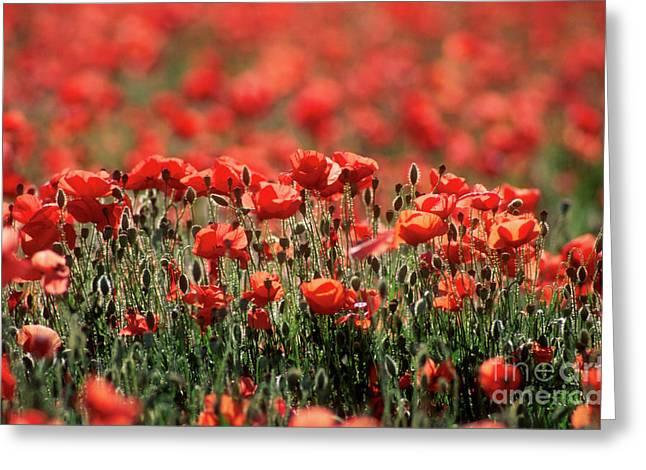 Outdoors Greeting Cards - Field of poppies. Greeting Card by Bernard Jaubert