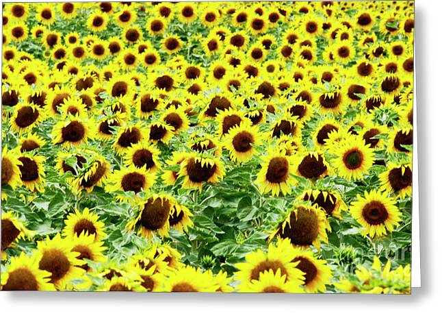 Asteraceae Greeting Cards - Field of sunflowers Greeting Card by Bernard Jaubert