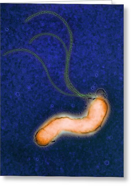 Helicobacter Pylori Bacteria Greeting Cards - Helicobacter Pylori Bacterium Greeting Card by Nibsc