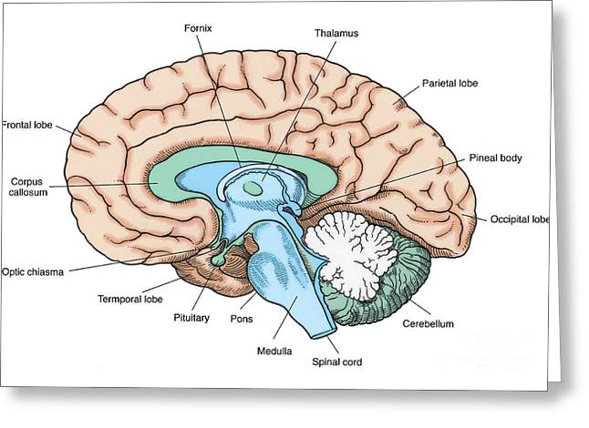 Corpus Callosum Greeting Cards - Illustration Of Human Brain Greeting Card by Science Source