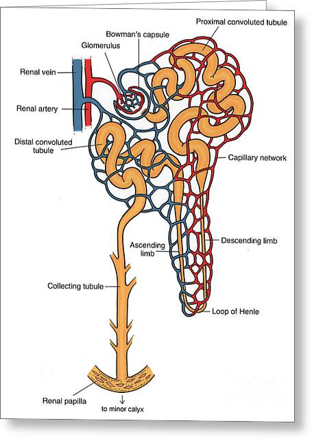 Illustration Of Nephron Greeting Card by Science Source