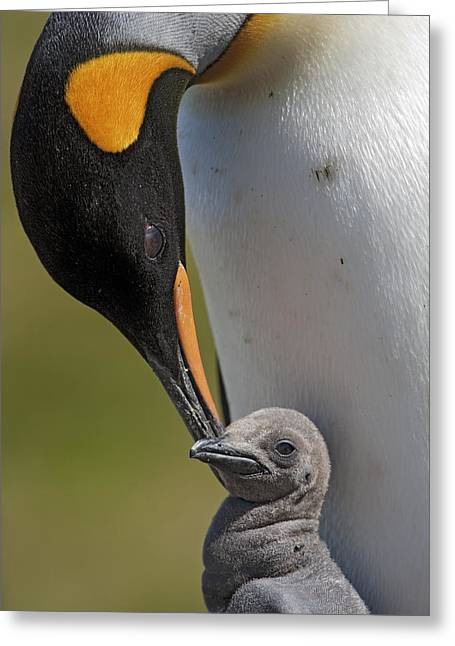 Baby Bird Greeting Cards - King Penguin Aptenodytes Patagonicus Greeting Card by Ingo Arndt