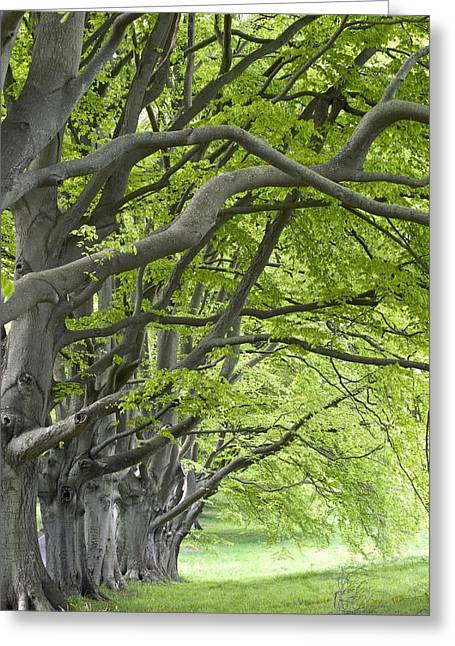 Kingston Greeting Cards - Mature Beech Trees (fagus Sylvatica) Greeting Card by Adrian Bicker