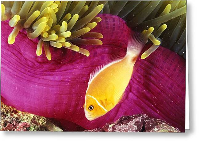 Sea Creature Photos Greeting Cards - Micronesia, Marine Life Greeting Card by Dave Fleetham - Printscapes