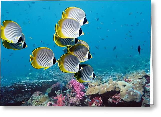 Reef Fish Greeting Cards - Panda Butterflyfish Greeting Card by Georgette Douwma