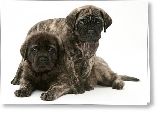 Mastiff Pup Greeting Cards - Puppies Greeting Card by Jane Burton
