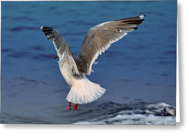 Seagull  Greeting Card by Debra  Miller