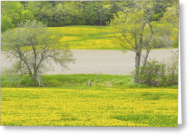 Maine Spring Greeting Cards - Spring Farm Landscape With Dandelion bloom in Maine Greeting Card by Keith Webber Jr