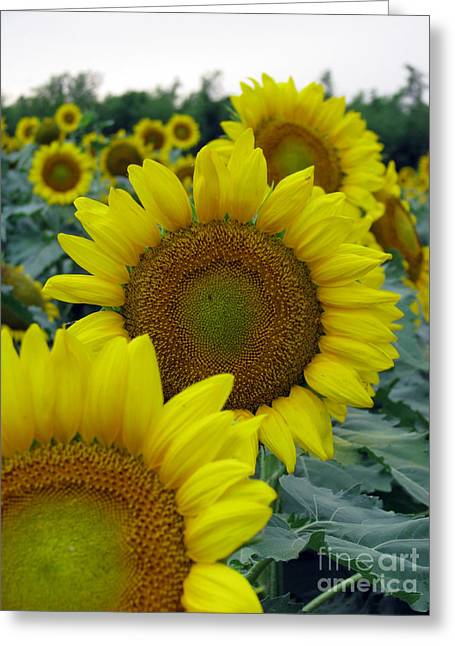 Yellow Sunflower Greeting Cards - Sunflower Series Greeting Card by Amanda Barcon
