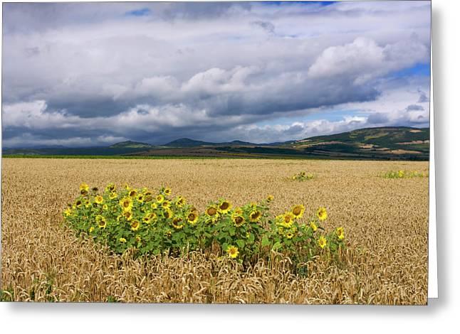 Limagne Greeting Cards - Sunflowers  Greeting Card by Bernard Jaubert