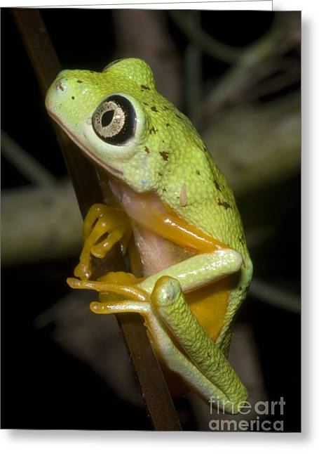 Toe Pad Greeting Cards - Tree Frog Greeting Card by Dante Fenolio