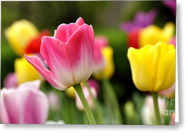 Spring Bulbs Greeting Cards - Tulip Garden University of Pittsburgh  Greeting Card by Thomas R Fletcher
