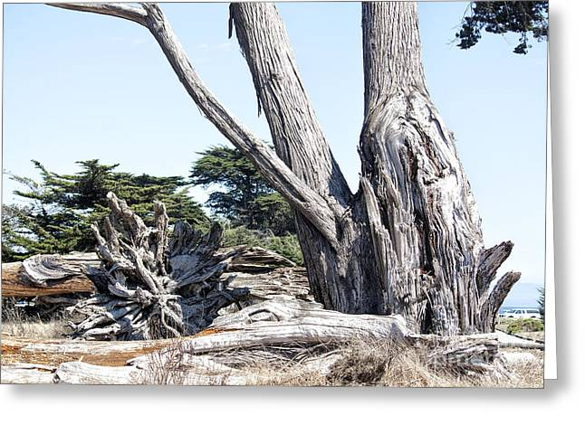 Santa Cruz Ca Digital Art Greeting Cards - 610 det Old Trees Greeting Card by Chris Berry